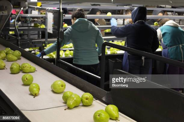 Bartlett pears move along a conveyor belt as worker sort fruit at the Stemilt Growers packing facility in Wenatchee Washington US on Wednesday Sept...