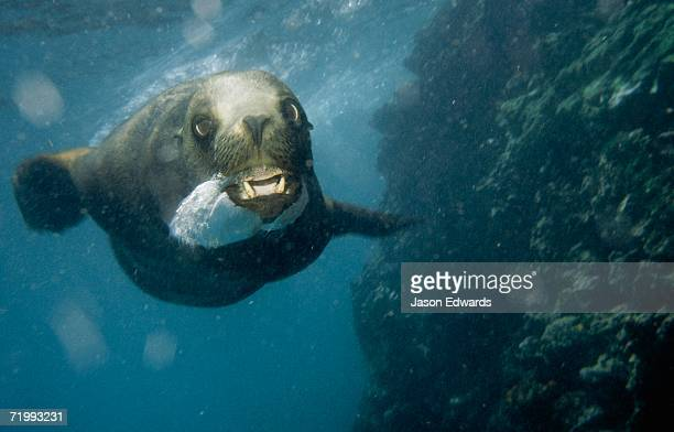 Bartolome Island, Galapagos Islands, Ecuador. A Galapagos sealion, Zalophus californianus wollebaeki, blows bubbles.