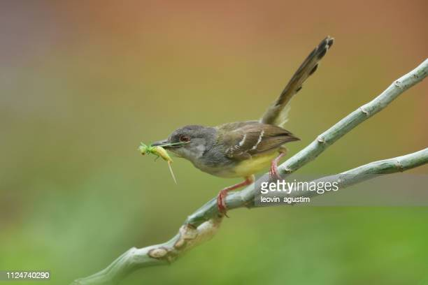 bar-wing prinia bird carrying a grasshopper in its beak, indonesia - perching stock pictures, royalty-free photos & images