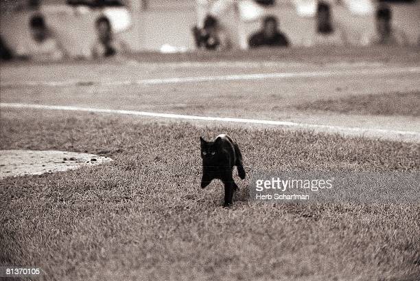 Baseball Animal black cat walking across field at Shea Stadium during Chicago Cubs vs New York Mets game Flushing NY 9/8/1969