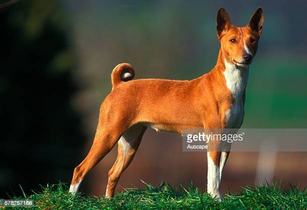 Basenji Canis familiaris an ancient breed showing short curled tail Rarely barks but howls sounding like a yodeler Originated in West Africa...