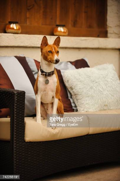 Basenji Dog Looking Away While Sitting On Sofa At Home