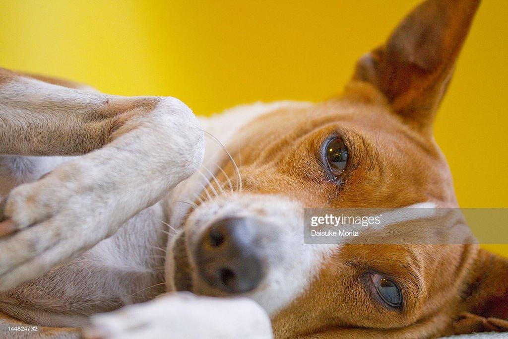 A Basenji dog lying down : Stock Photo