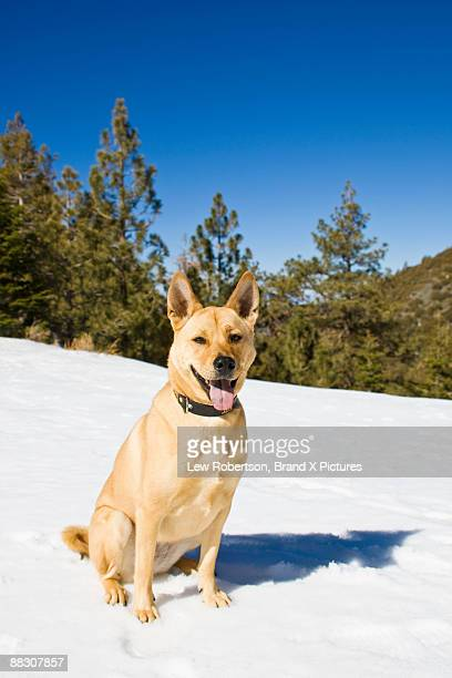 Basenji dog on snow covered mountainside