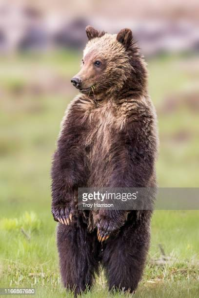 bashful bear - bear stock pictures, royalty-free photos & images