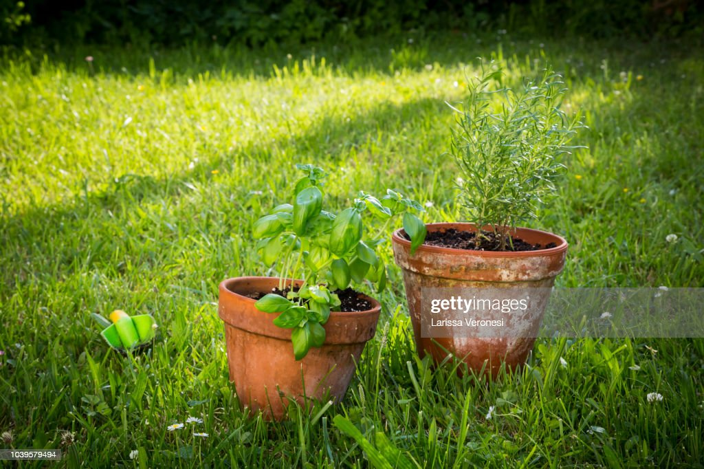 basil and rosemary in pots : Stock Photo