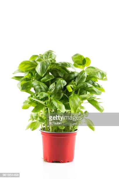 basil growing in plastic pot isolated on white background - flower pot stock pictures, royalty-free photos & images