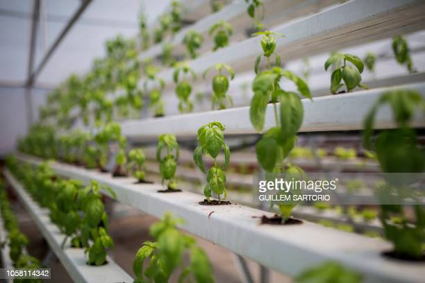Basil grows using a hydroponic system in the In Season rooftop greenhouse in Johannesburg on November 5 2018 Rooftop gardens do not make use of...