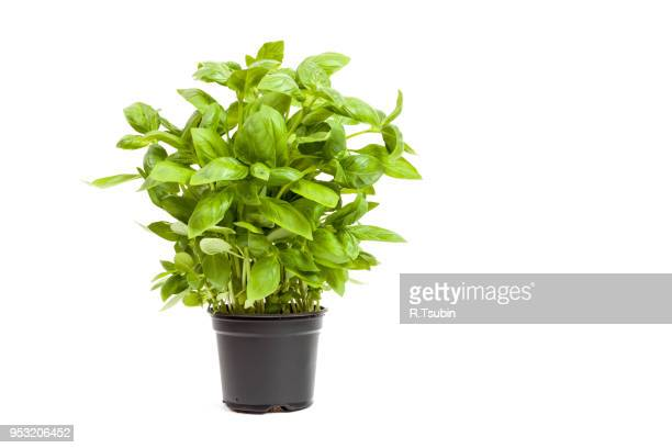 basil in a pot, isolated on white background - graspflanze stock-fotos und bilder