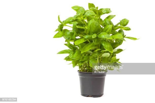 basil in a pot, isolated on white background - 植木鉢 ストックフォトと画像