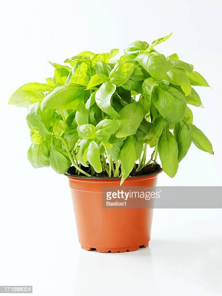 basil in a pot