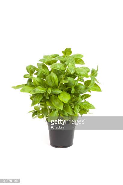 basil in a pot - flower pot stock pictures, royalty-free photos & images