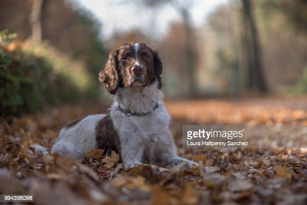 basil in fall colours - english springer spaniel stock pictures, royalty-free photos & images
