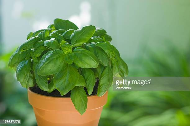 Basil in plantpot, close up