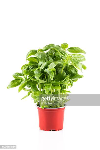 Basil in plastic pot