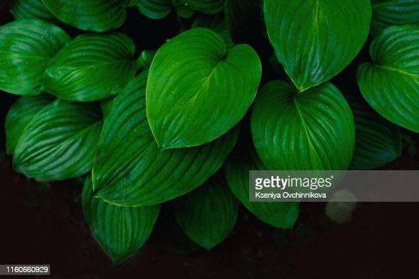 basil leaves. - exotisme photos et images de collection