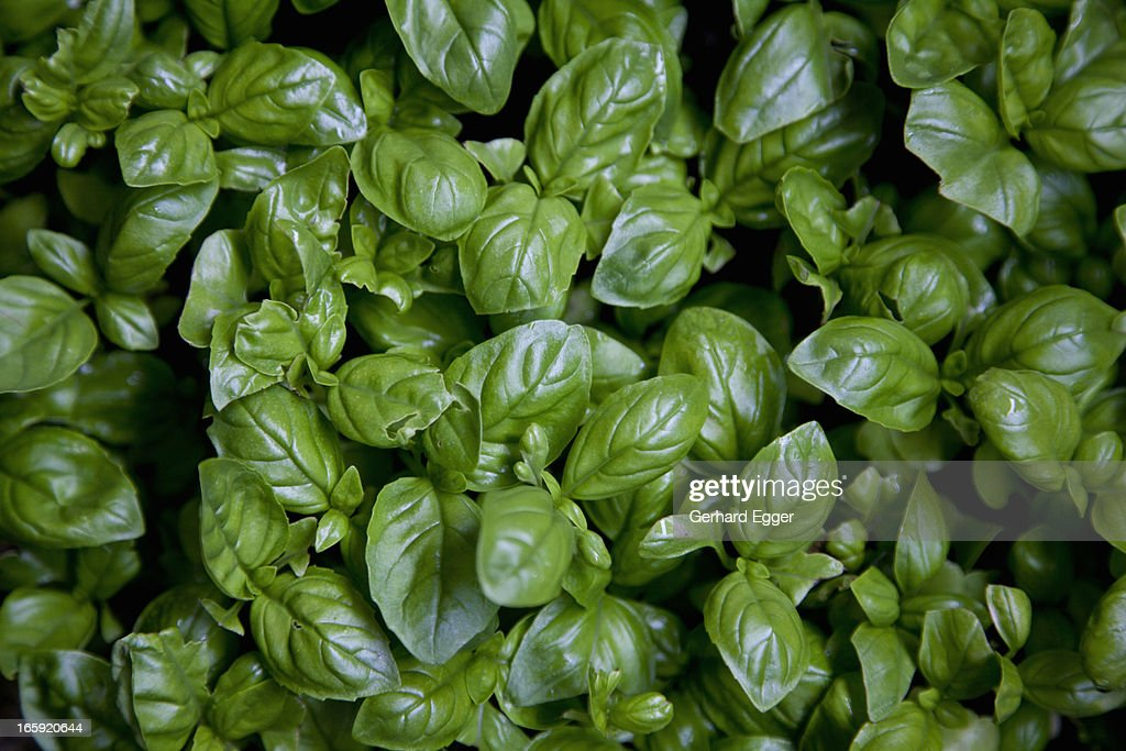 Basil leaves : Stock Photo