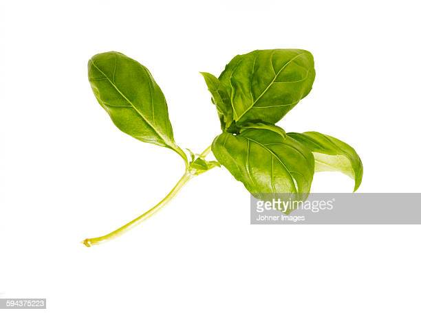 Basil on white background