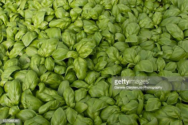 basil pattern - daniele carotenuto stock pictures, royalty-free photos & images