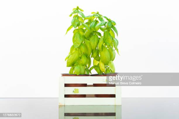 basil plant - benicassim stock pictures, royalty-free photos & images
