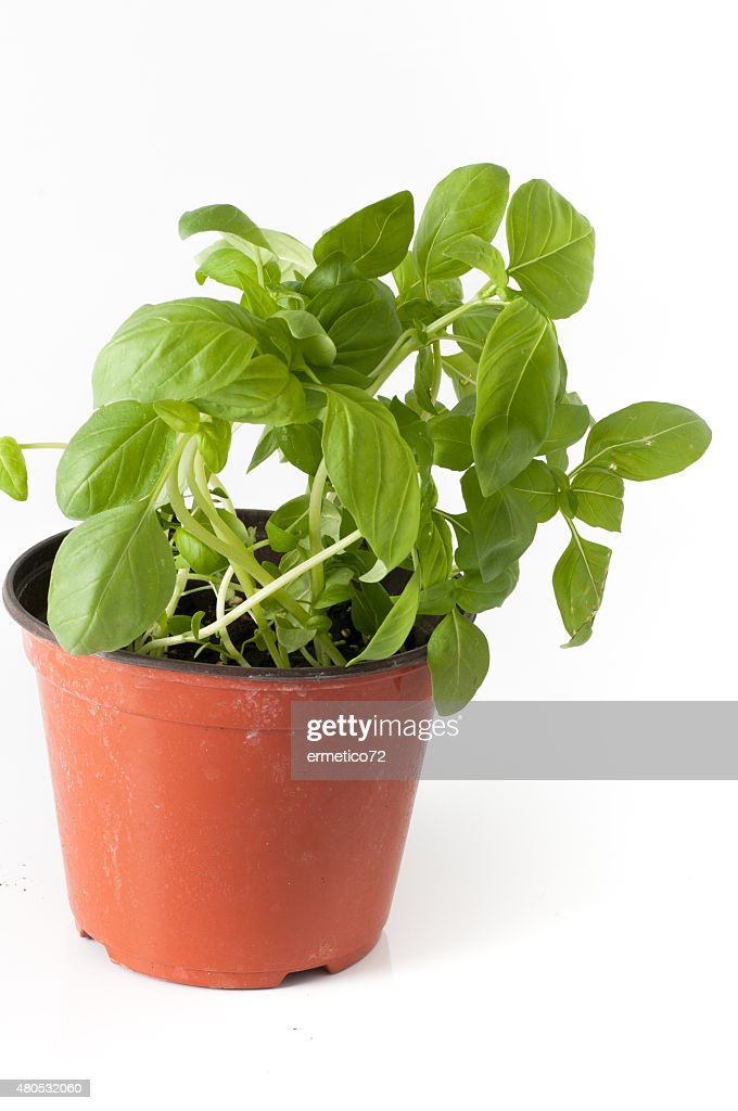 basil plant with pot and roots : Stock Photo