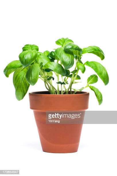 Basil herbes en pots de date de départ, isolé sur fond blanc