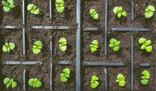 Basil seedlings - gettyimageskorea