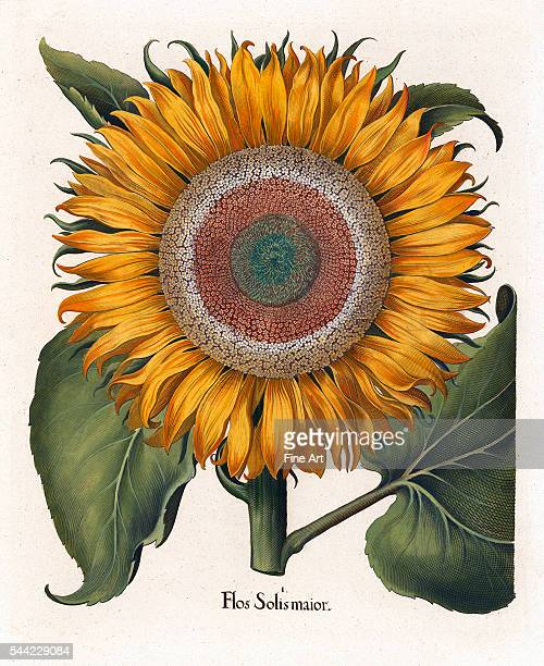 Basilius Besler The Common Sunflower handcolored copper engraving published by Eichstaett Nuernberg 15 x 18 cm