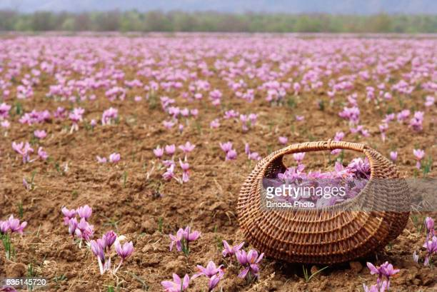 Basket filled with saffron flowers in a field in Jammu and Kashmir, India