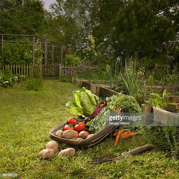 basket full of fresh vegetables in garden. - vegetable garden stock pictures, royalty-free photos & images