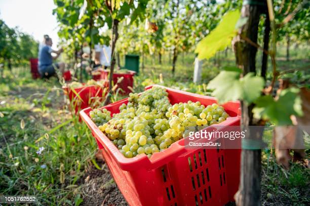 basket full of harvested white grapes in vineyard - grape harvest stock pictures, royalty-free photos & images