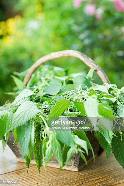 Basket full of stinging nettle (urtica dioica)