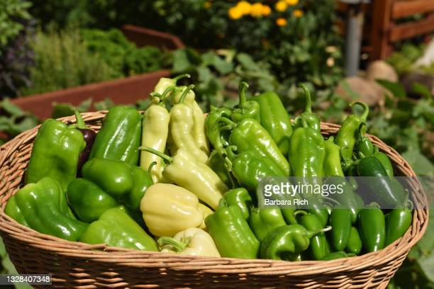 basket of assorted peppers freshly harvested from garden. - anaheim california stock pictures, royalty-free photos & images