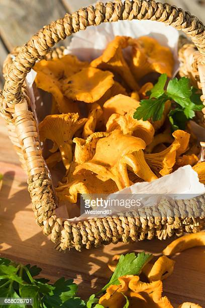 basket of chanterelles and flat leaf parsley - flat leaf parsley stock photos and pictures