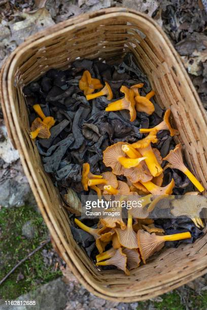 a basket of foraged black trumpet and yellow foot chanterelles - forest floor stock photos and pictures
