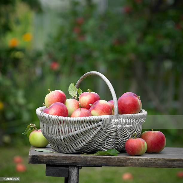basket of fresh apples in garden. - basket stock photos and pictures