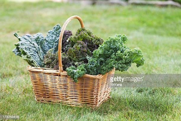 Basket of Fresh Kale Vegetable Varieties Harvested from Garden Hz