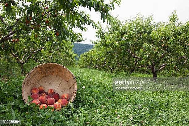 Basket of fresh peaches beneath tree