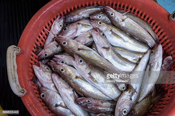 Basket of freshly caught Whiting fish, Merlangius merlangus, on trawler