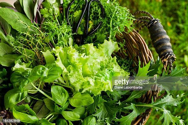 Korb mit frisch geschnittenem Salat und Kräuter