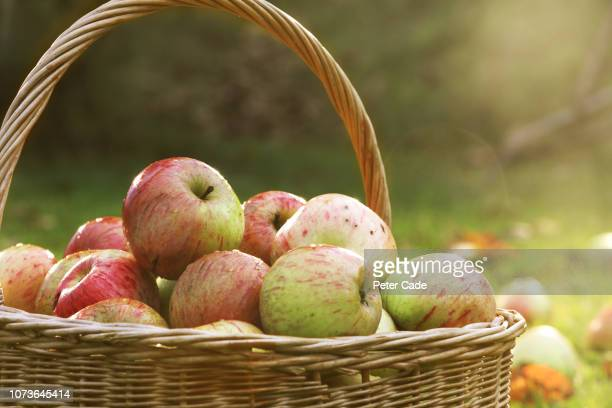 basket of freshly picked apples - apple fruit stock pictures, royalty-free photos & images