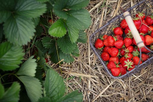 Basket of freshly picked strawberries in a strawberry patch - gettyimageskorea
