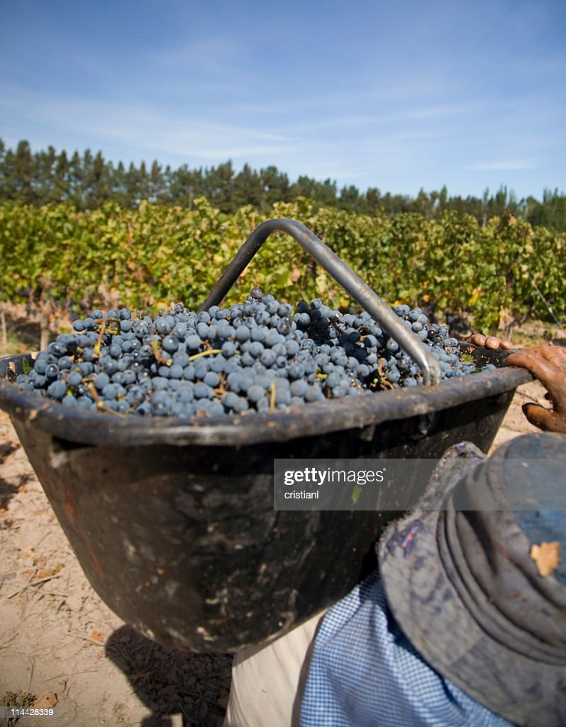 basket of grapes : Stock Photo