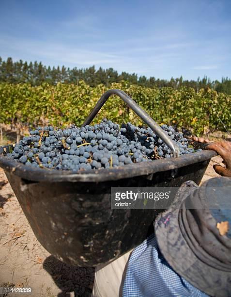 バスケットのブドウ - cabernet sauvignon grape ストックフォトと画像