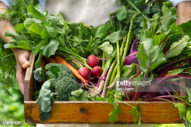 basket of just picked vegetables at organic farm in gardener's hands - harvest basket stock pictures, royalty-free photos & images