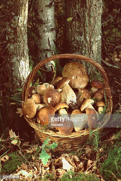 Basket of King bolete mushrooms Boletus edulis under tree in forest Prized worldwide Called cep in France Steinpilz in Germany porcini in Italy and...