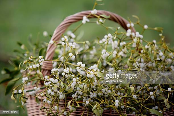 basket of mistletoe - what color are the berries of the mistletoe plant stock pictures, royalty-free photos & images