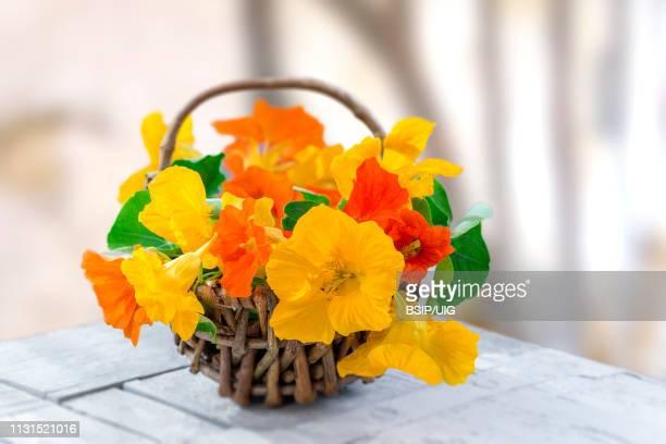 basket of nasturtium plant with yellow and orange flowers, - nasturtium stock pictures, royalty-free photos & images