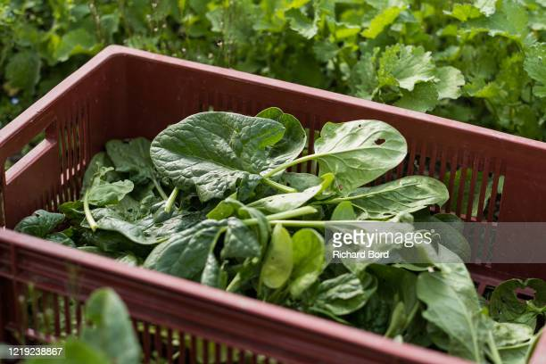 A basket of spinach is seen at 'La Ferme d'Elouise' on April 16 2020 in Seyssel France During the COVID19 outbreak and lockdown farmers have to...