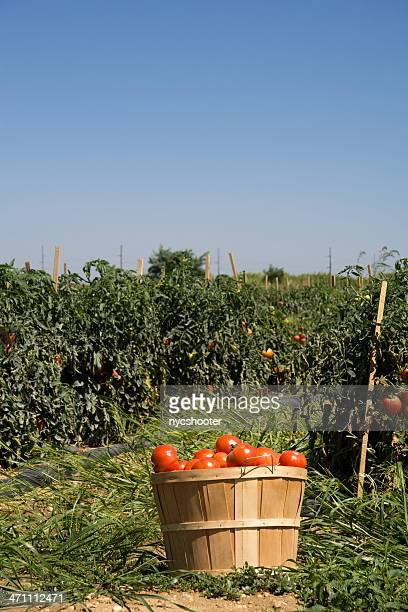 Basket of tomatoes on farm